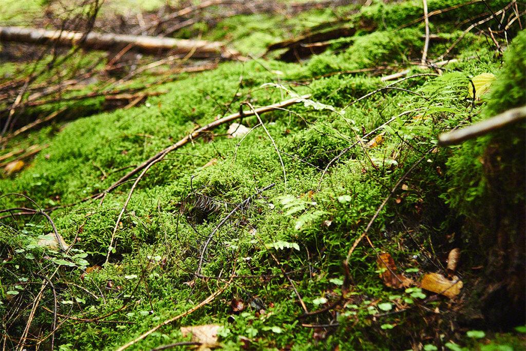 Waldboden mit Moss um Naurath/Wald nahe Rüssels Landhaus
